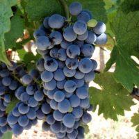 Gourmet red wines